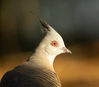 Crested Pigeon (Image ID 41200)