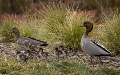 Australian Wood Duck (Image ID 41881)