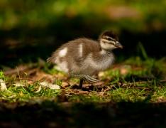 Australian Wood Duck (Image ID 42121)