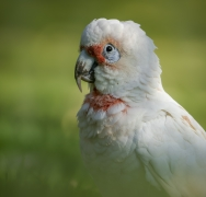 Long-billed Corella (Image ID 41676)