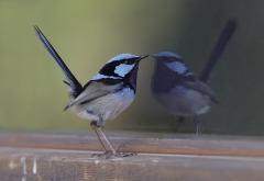 Superb Fairy-wren (Image ID 41975)