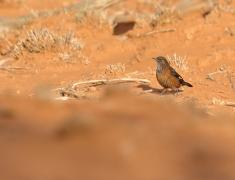 Black-tailed Treecreeper (Image ID 41838)