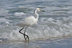 Little Egret (Image ID 41816)