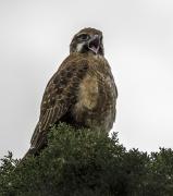 Brown Falcon (Image ID 41778)