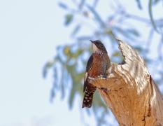 Black-tailed Treecreeper (Image ID 41837)