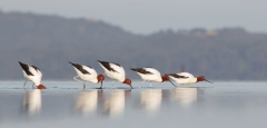 Red-necked Avocet (Image ID 41818)