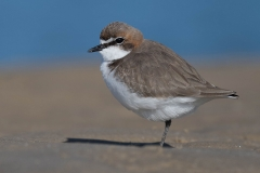 Red-capped Plover (Image ID 41935)