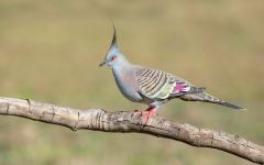 Crested Pigeon (Image ID 41825)