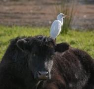Cattle Egret (Image ID 41876)