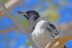 Pied Butcherbird (Image ID 41815)