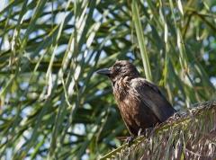 Little Crow (Image ID 41834)