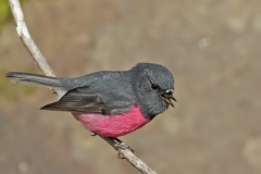 Pink Robin (Image ID 42491)