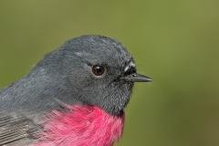 Pink Robin (Image ID 42493)