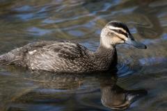 Pacific Black Duck (Image ID 42295)