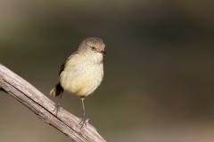 Buff-rumped Thornbill (Image ID 42268)