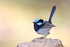 Superb Fairy-wren (Image ID 42489)
