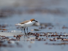 Red-capped Plover (Image ID 42430)