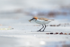 Red-capped Plover (Image ID 42431)