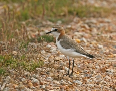 Red-capped Plover (Image ID 42426)