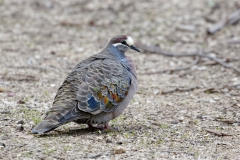 Common Bronzewing (Image ID 42339)