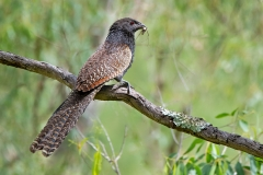 Pheasant Coucal (Image ID 42475)