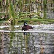 Blue-billed Duck (Image ID 42480)