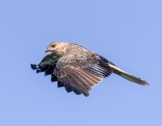 Whistling Kite (Image ID 42472)