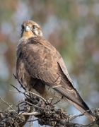 Brown Falcon (Image ID 42485)