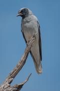 Black-faced Cuckoo-shrike (Image ID 42501)