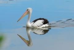 Australian Pelican (Image ID 42264)