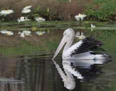 Australian Pelican (Image ID 42347)