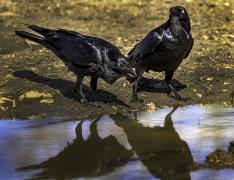 Australian Raven (Image ID 42292)